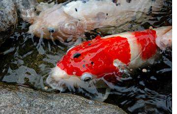 Koi facts the pond digger for Koi fish predators