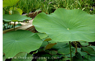 Closeup of lotus leafs