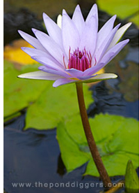 Tropical Water Lily picture