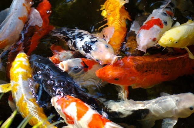 Koi pond the pond digger for Best food for koi fish