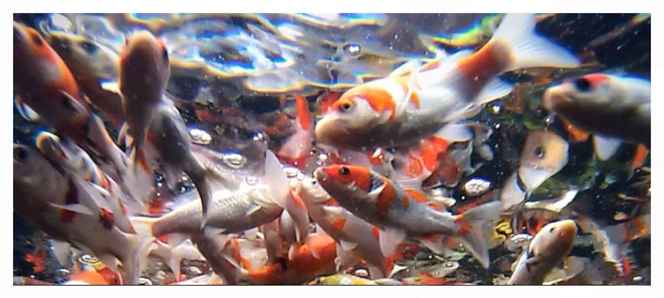 Pond Clean Out Tips That Could Save Your Koi The Pond Digger
