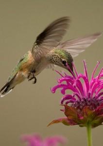 beebalm-hummingbird