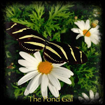 butterflyblack