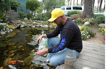 Koi feeding the pond digger for Feeding koi fish