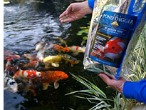 Feeding Koi in Pond