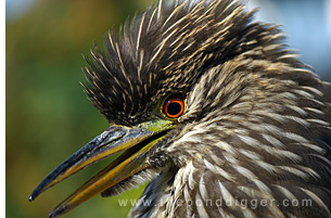 Juvenille Night Heron