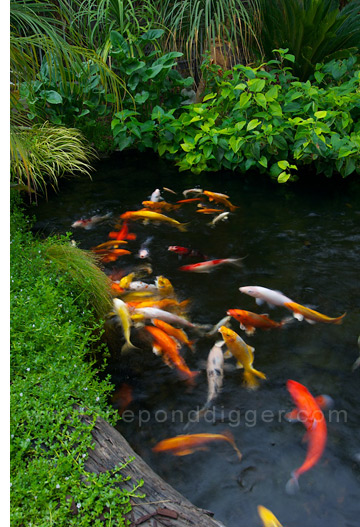 Koi pond design the pond digger for Koi fish in pool