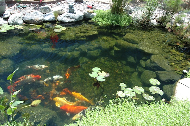 Blog the pond digger for Koi pond insert